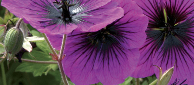 Geranium Sweet Heidy v. Orkney Cherry