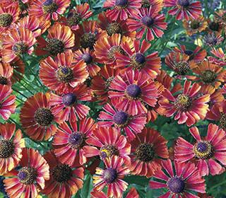 Garden Must-Haves: Sun Perennials