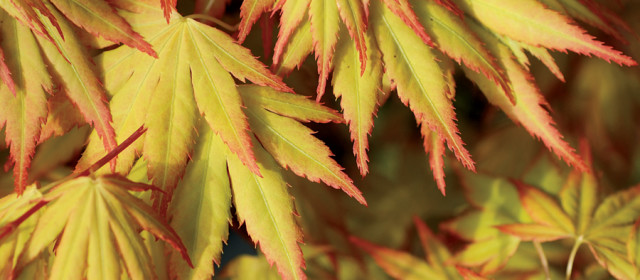Japanese Maples: Protecting Fragile Foliage