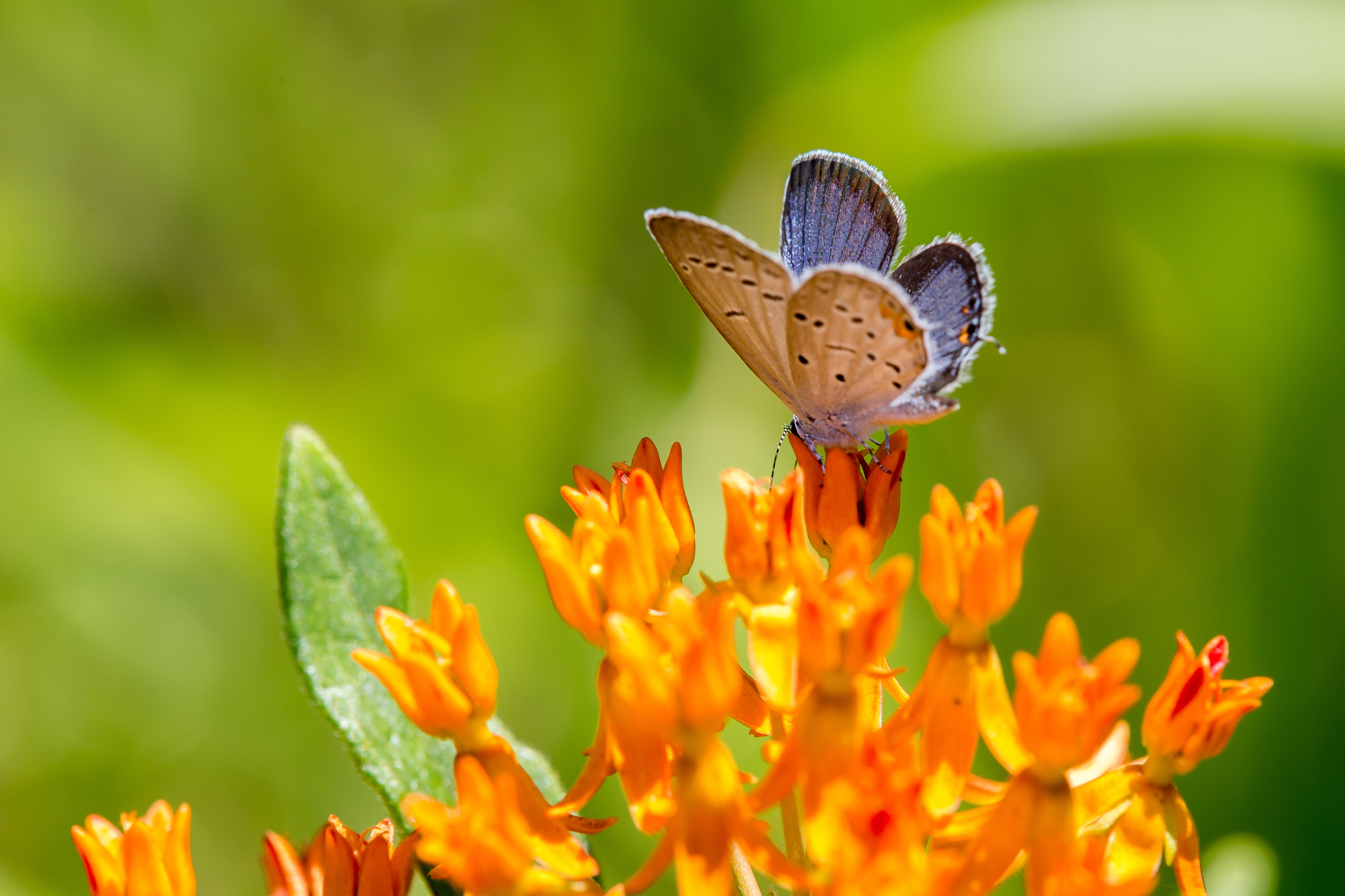 Side view of Eastern Tailed Blue butterfly drunking from a Butterfly Weed flower