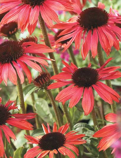 Year of the Echinacea