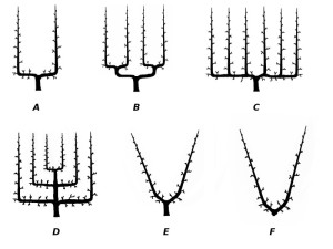 Espalier forms. Illustration by Giancarlo Dessì.