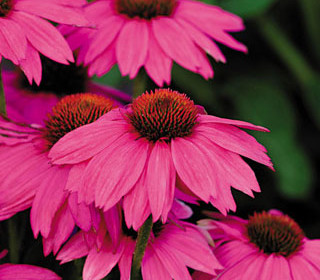 The Healing Power of Coneflowers
