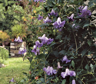 Wayside Gardens Press Release-7/1/14: How to Prune Clematis