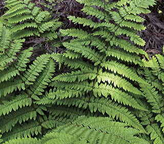 Deal of the Day: Mix and Match Any 6 Ferns for $36!