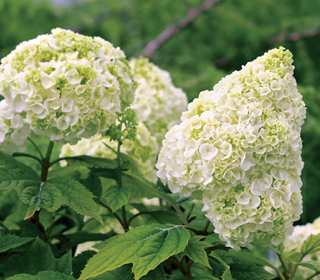 Gatsby's Moon™ Hydrangea offers spectacular blooms