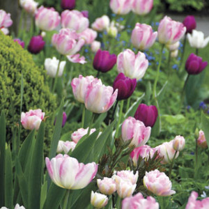 The season's most popular tulip blend!