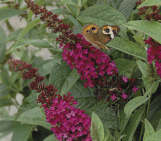 A New Day for Buddleia
