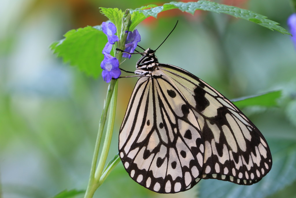 Large Tree Nymphs butterfly and flowers,a beautiful butterfly on the purple flower,Paper Kite butterfly,Rice Paper butterfly