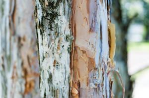 Close up of layers of paper bark eucalyptus tree trunk. Tree bark texture eucalyptus. Shallow DOF