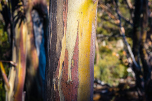 Close up of extraordinary yellow eucalyptus tree trunk texture with bark off. Tree bark texture eucalyptus. Shallow DOF