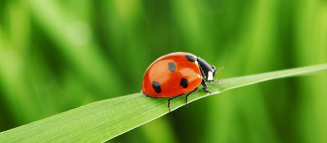 My Fair Ladybugs