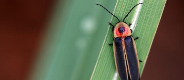 Tips for luring Lightning Bugs