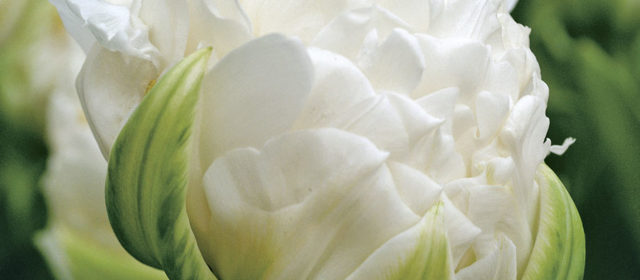 Our Top 10 Favorite White Flowers