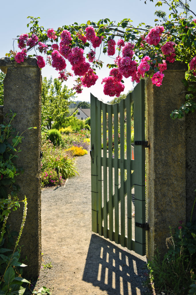 Pink roses hanging over open garden gate entrance