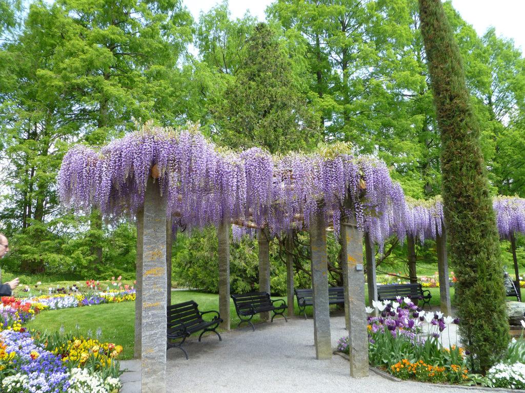 bigstock-Wisteria-Flowering--30849878