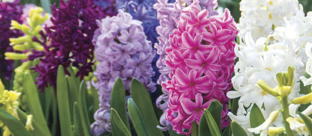Hyacinth or Grape Hyacinth?