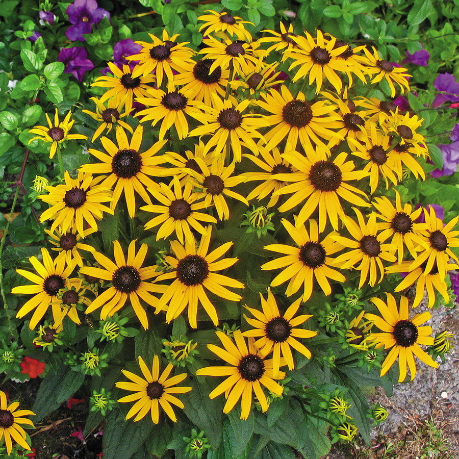 Little Goldstar Black-eyed Susan
