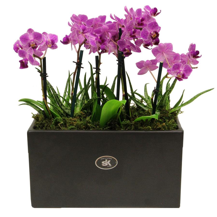 Trio of Double Mini Moth Orchids